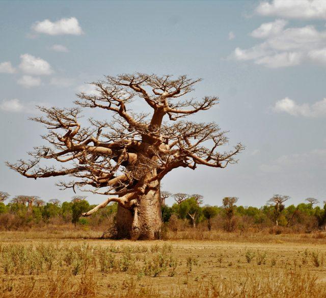 Baobab secolare_felicità_chiara del nero